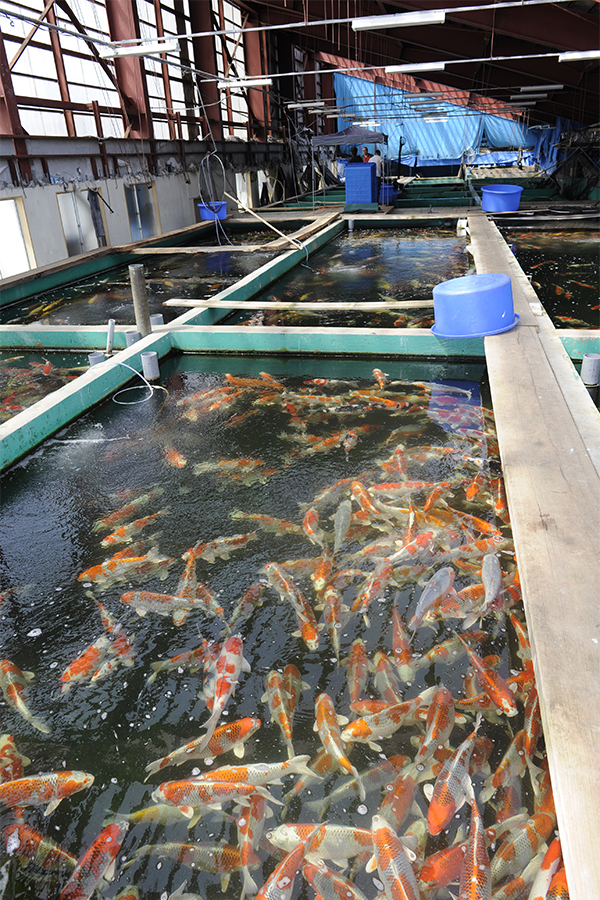 exclusive japanese koi marusei koi farm