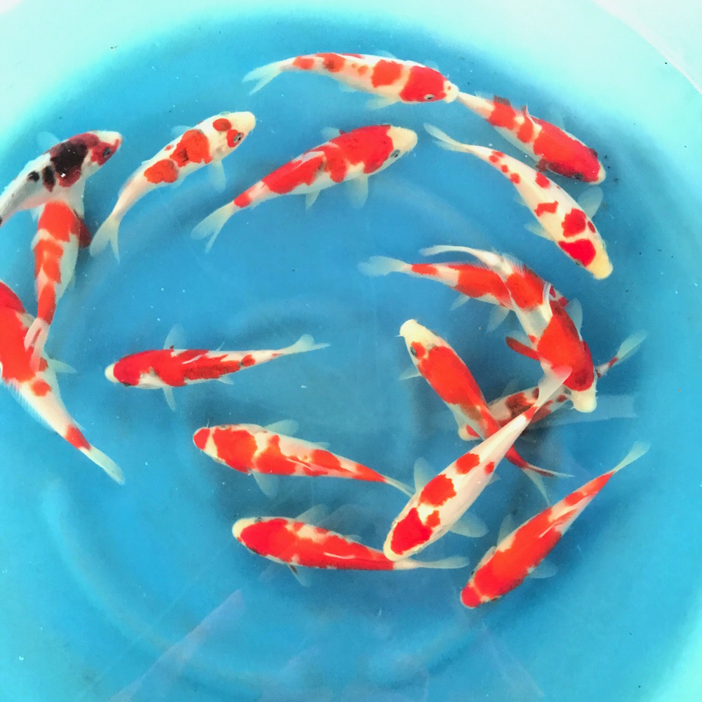 Exclusive japanese koi sakazume koi farm for Japanese koi